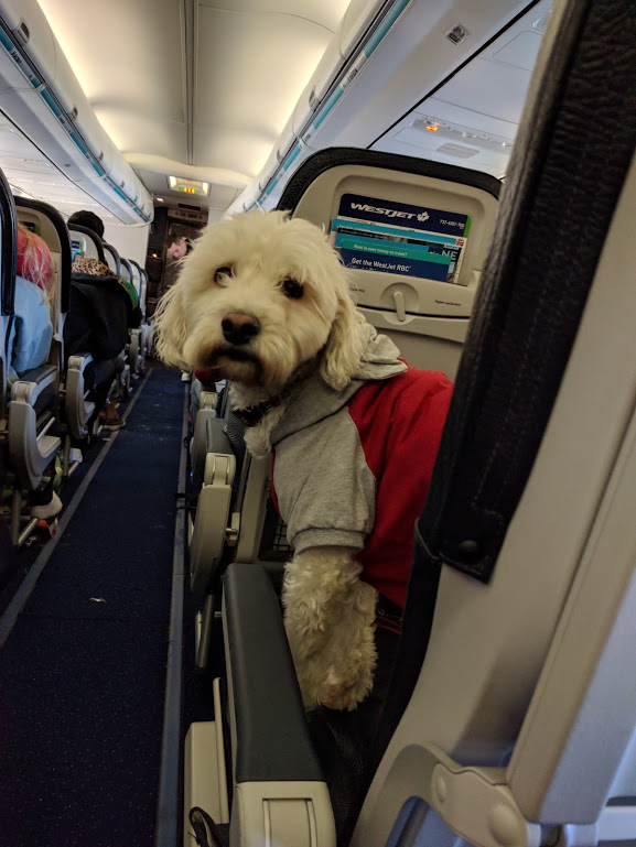 Puppy on WestJet