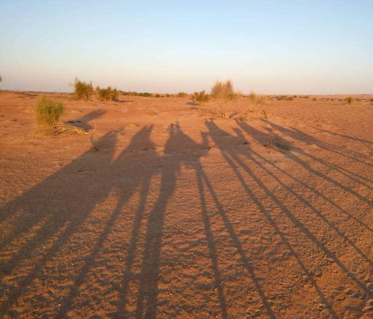 Shadows of the camels in the desert