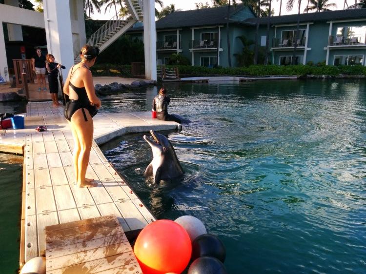 Atlantic bottlenose dolphins at The Kahala