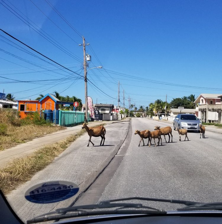 Goats on the road in St Philip Parish