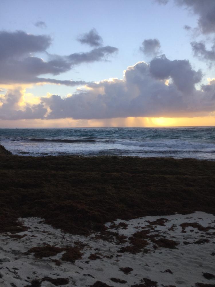 A mound of rotting sargassum seaweed on Crane beach in Barbados
