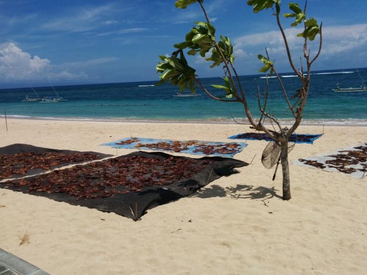 Local people drying seaweed on Nusa Dua Beach