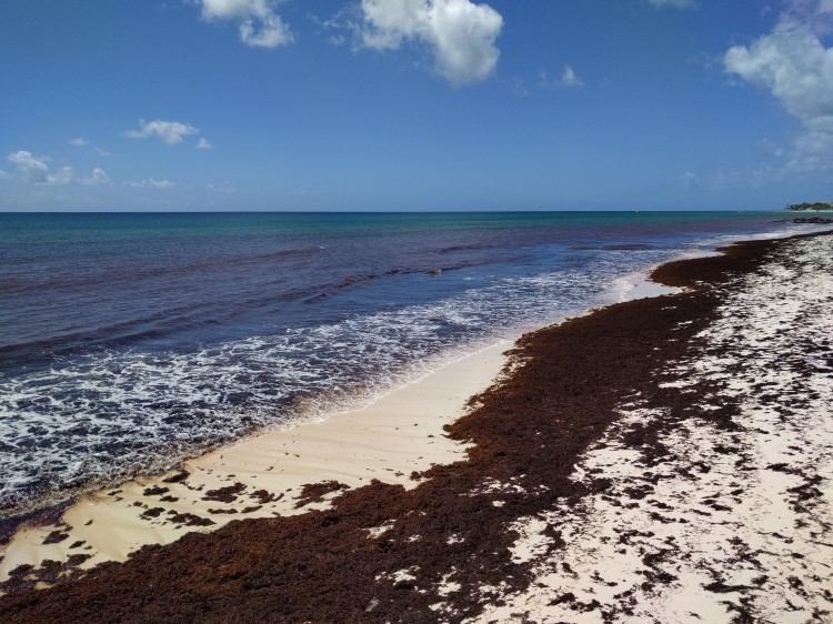 Sargassum seaweed on Welches Beach in February 2019