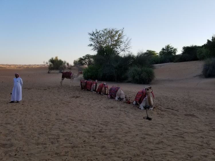 Camels for the trek