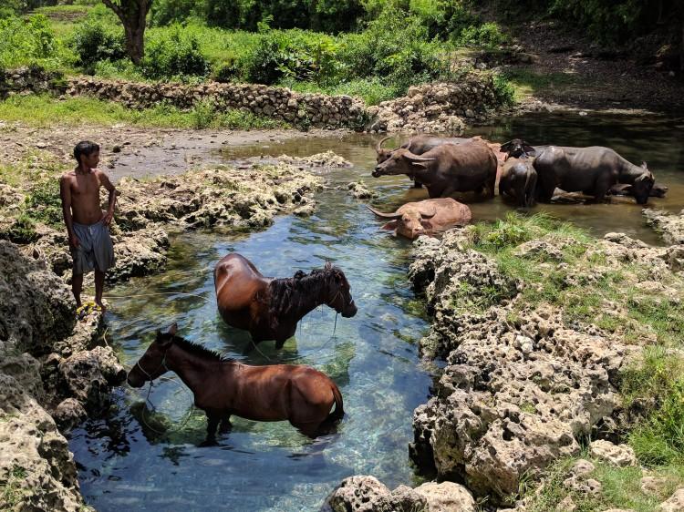 Water buffalo and Sumbanese horses