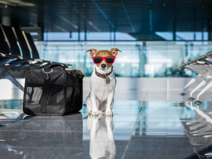 A Jack Russell Terrier ready for the flight