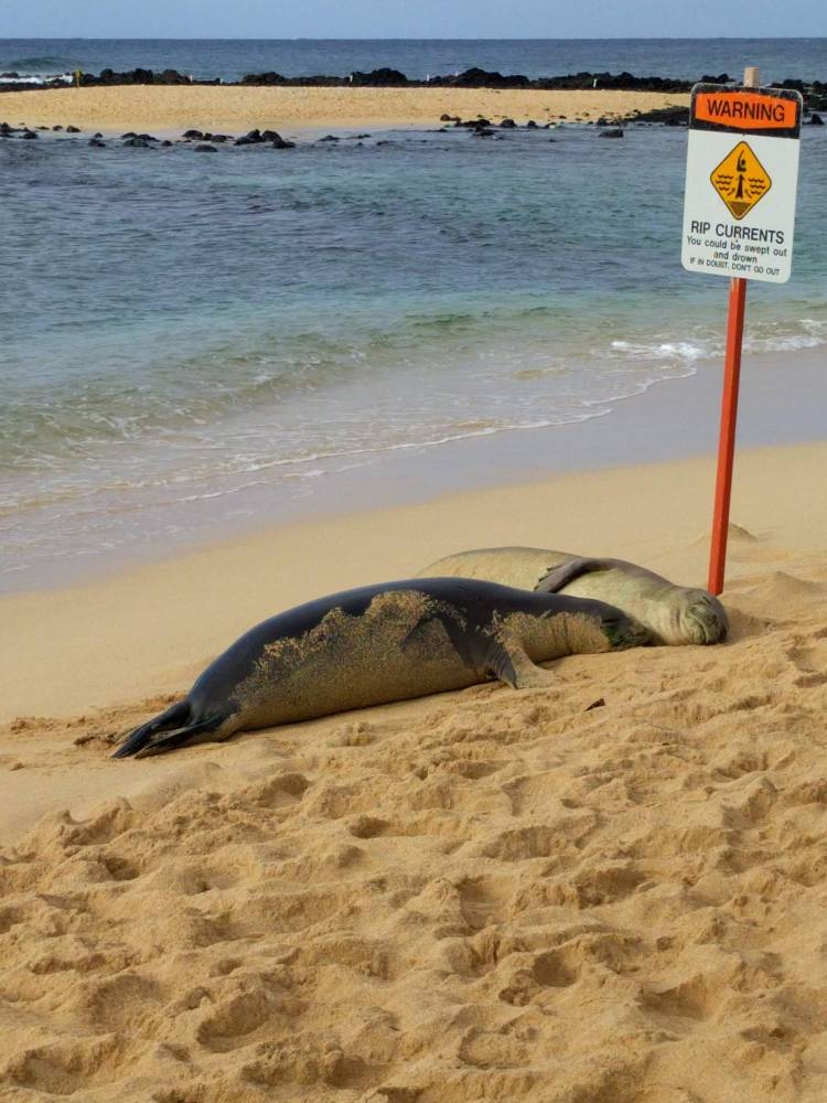 Hawaiian Monk Seals on the beach at Poipu
