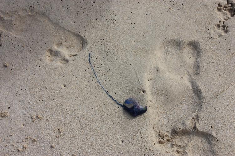 Man-o-war jellyfish on Kailua Beach