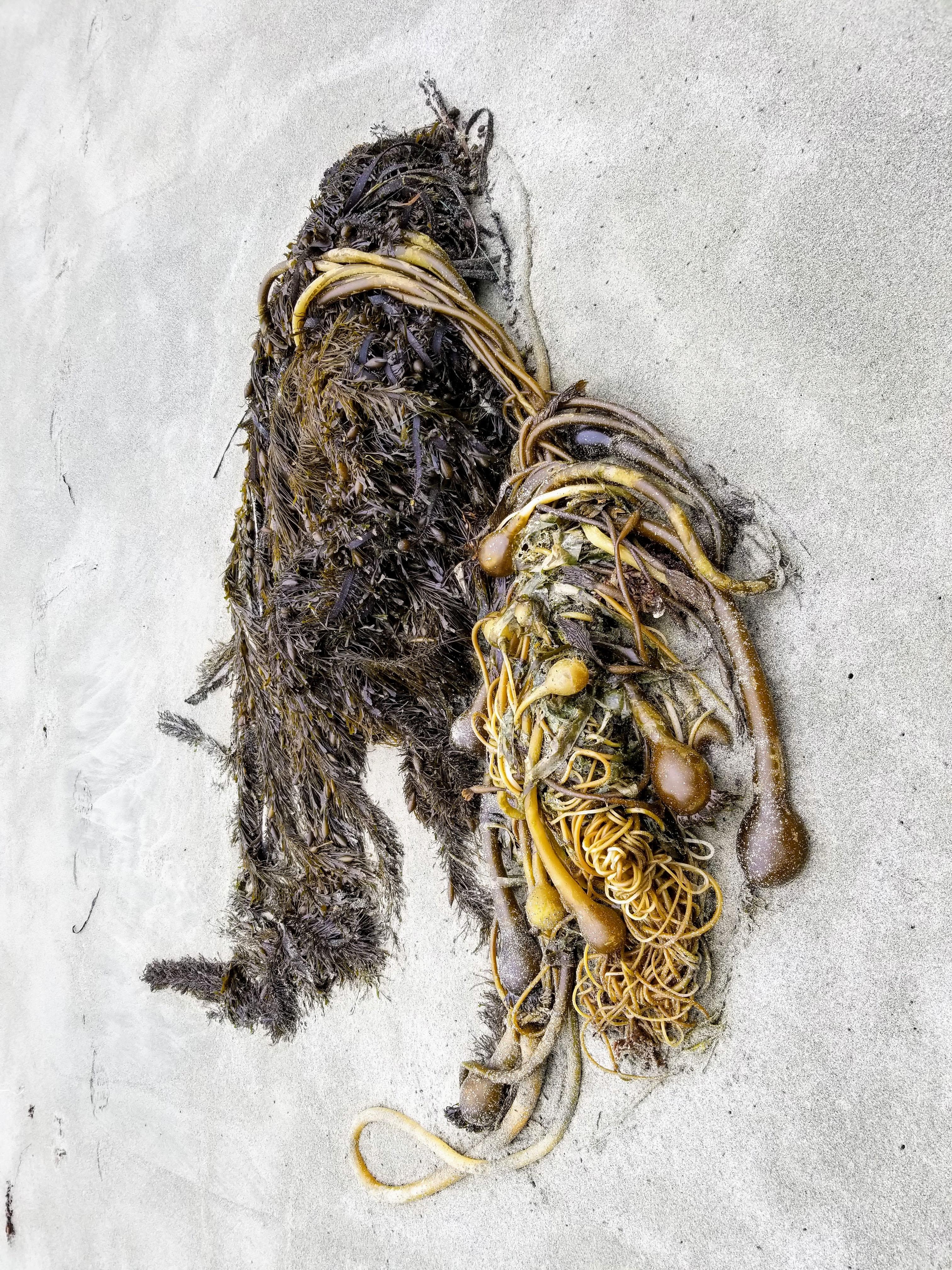 Sea plants washed up on shore at Half Moon Bay