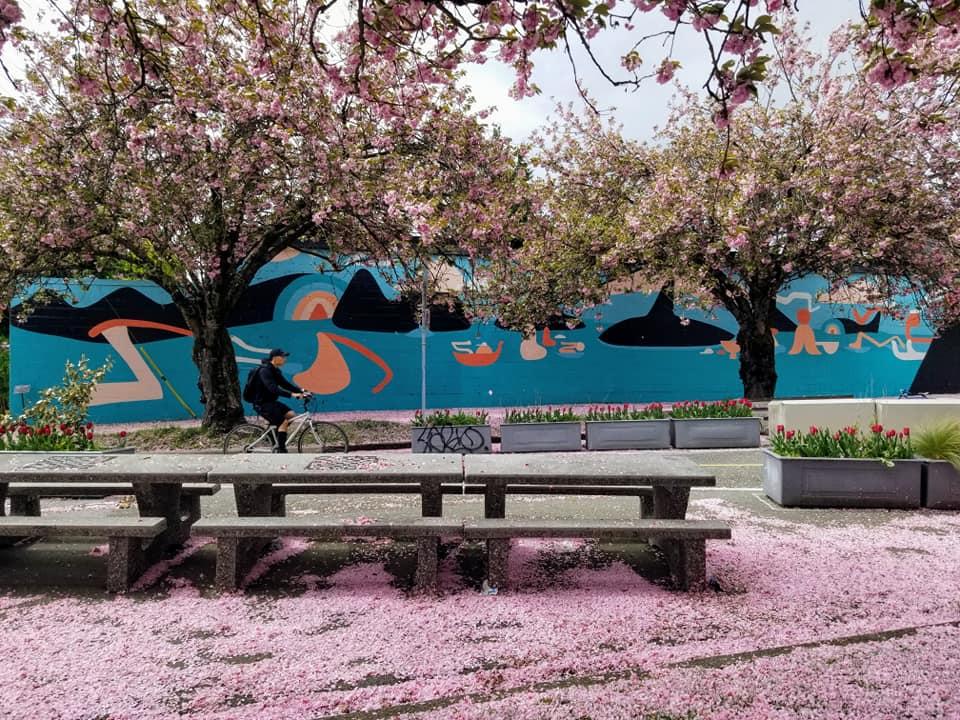 Cherry blossom season in April