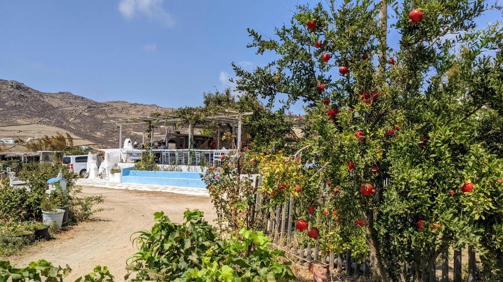 Vioma Organic Farm and Vineyard: The garden and a pomegranate tree